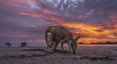 Kangaroos and Wallabies on the beach at sunset at Roberta Bay on Shaw Island