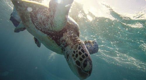 Turtle Whitsundays - Tourism Events QUeenslands