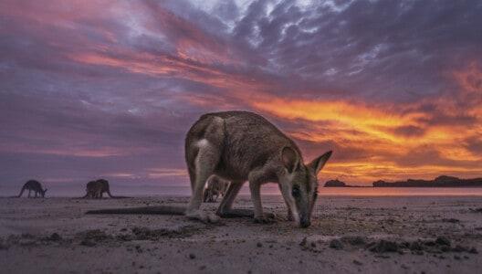 Roberta Bay Shaw Island wallabies