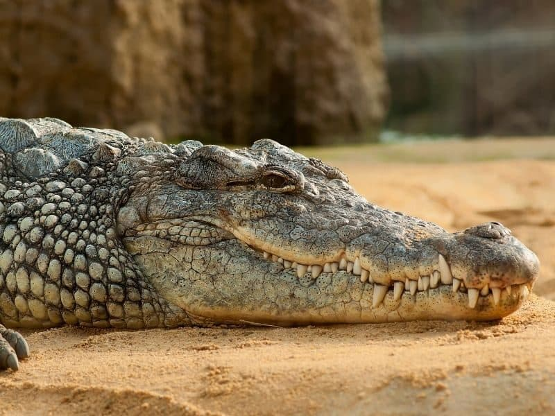 Large crocodile resting during the Crocodile Safari Tour in the Whitsundays