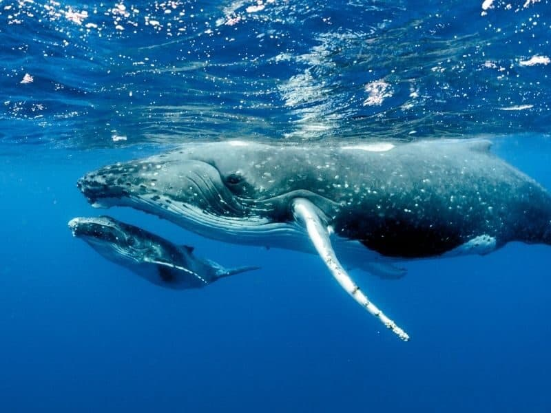 A mother humpback whale and her calf playing near the surface of the ocean in the Whitsundays
