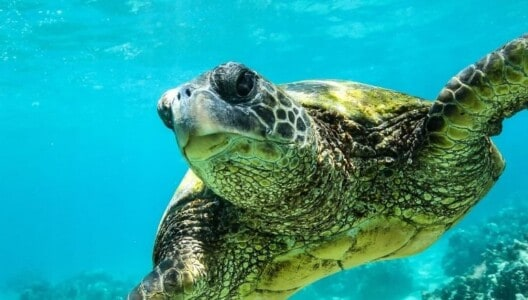 Turtle in the Whitsundays
